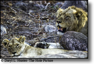 Mating pair of lions, Kruger National Park