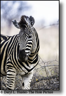 Zebra portrait,  Kruger National Park