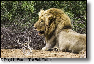 Male lion, bloody lips, Kruger National Park