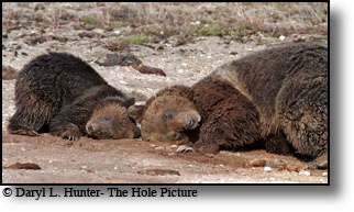 Grizzly Bear, sow, cub, Yellowstone National Park, blaze, hobo