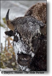 Snowy Bison, Yellowstone National Park