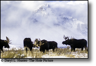 moose herd, clearing storm, winter, Jackson Hole, Grand Teton National Park.