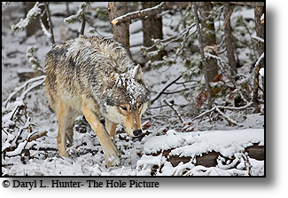 Lone wolf, snowstorm, Yellowstone National Park