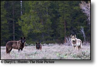 Three hungry wolves, Grand Teton Natonal Park